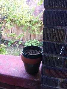 Avocado Plant (Dead)